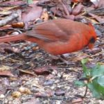 Red Cardinal at Rocky Bayou State Park